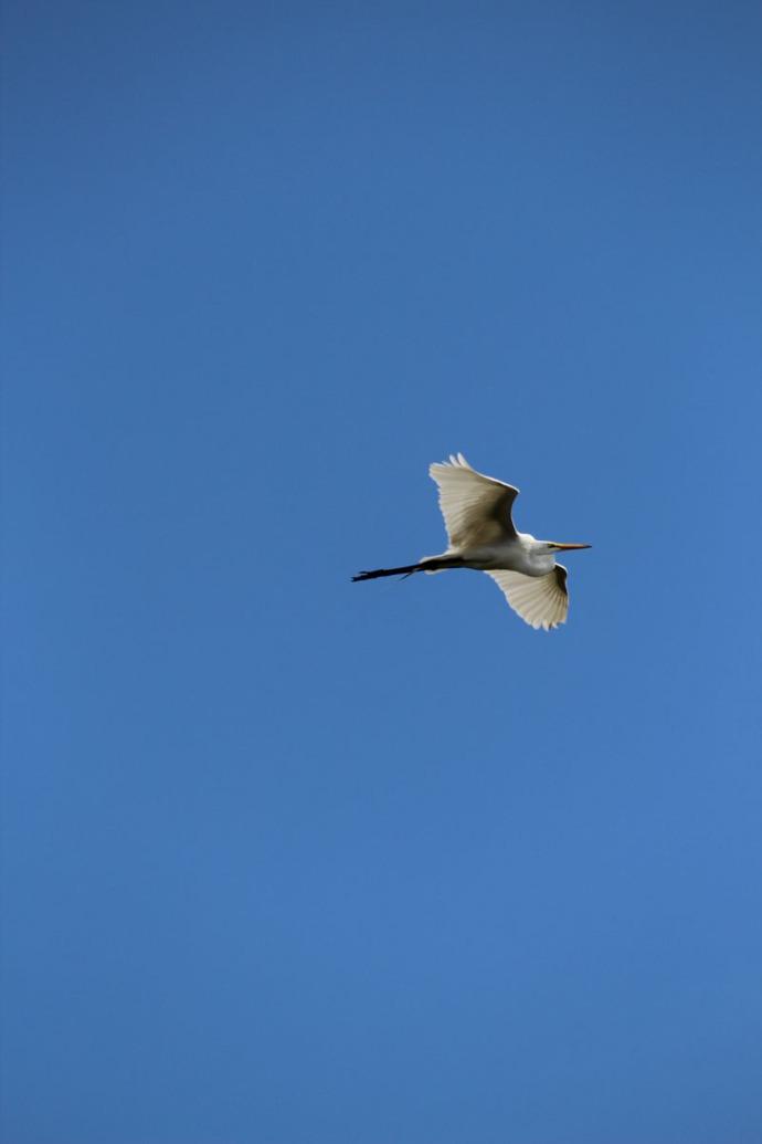 Rio Lagartos white egret flying vert