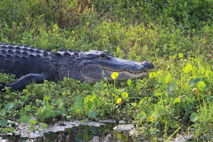 Bloody Point alligator front half