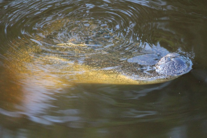 Bloody Point alligator head submerging 2