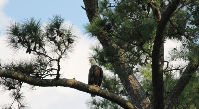 Bloody Point Bald Eagle, talking, hori