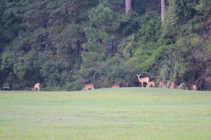 Bloody Point deer herd