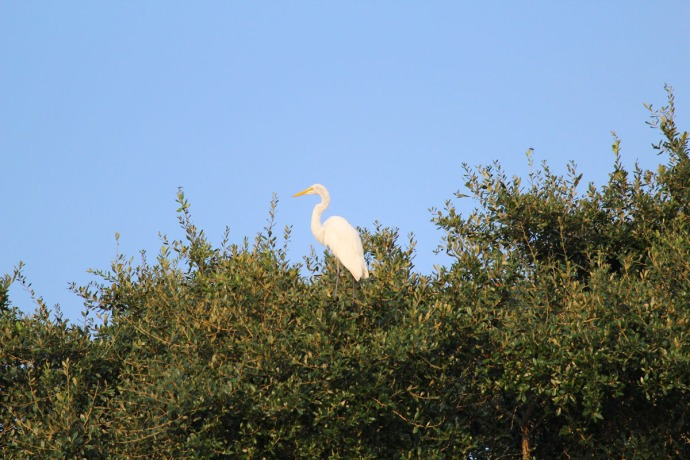 Bloody Point single white heron in treetop
