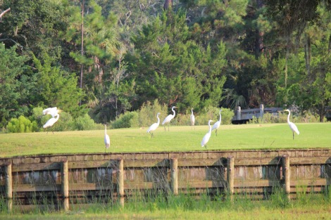 Bloody Point white herons above wall