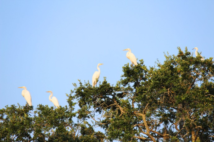 Bloody Point white herons in treetop