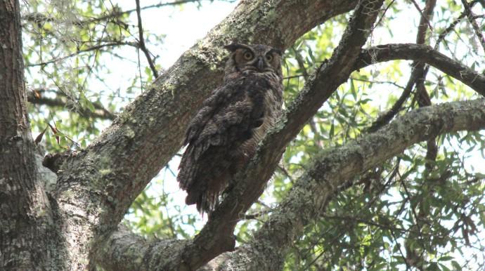 Dahfuskie hoot owl hori big