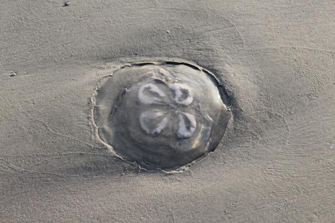 Dahfuskie jellyfish