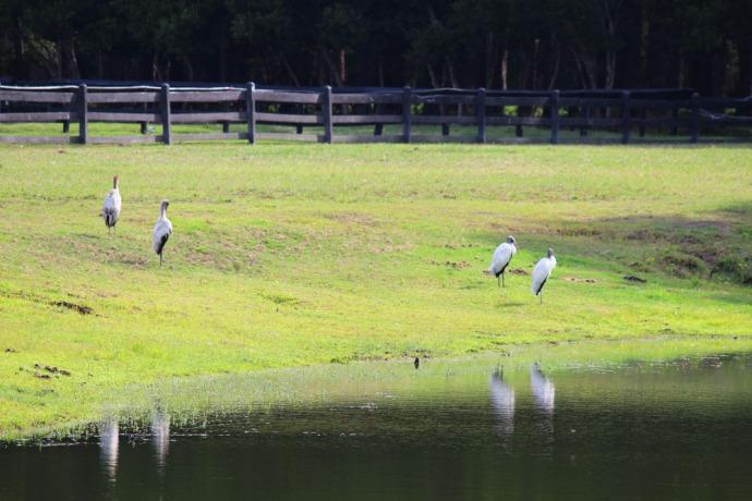 Daufuskie wood storks