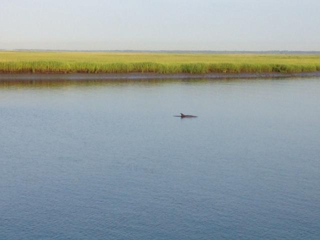 Dolphin, Cooper River