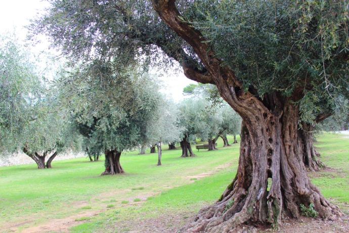 Castiglione del Lago ancient olive grove