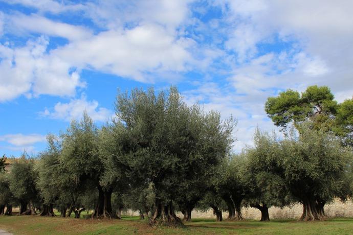 Castiglione del Lago ancient olive orchard, blue sky