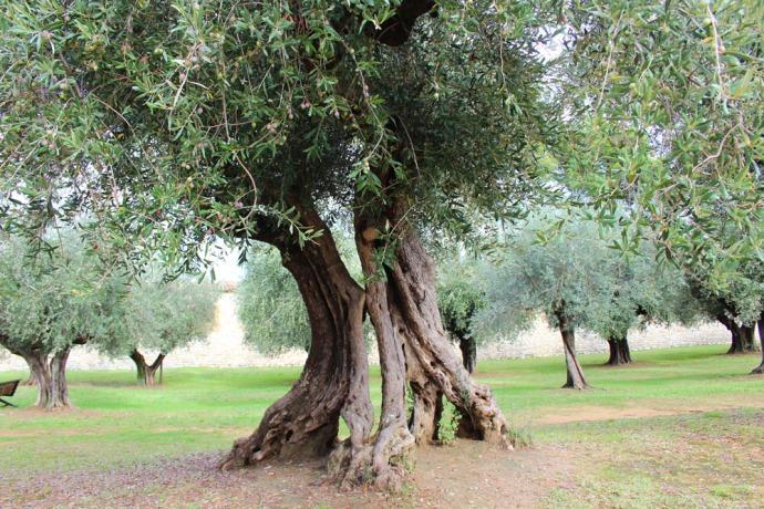 Castiglione del Lago ancient olive trunk