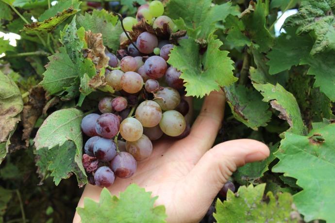 La Mucchia Casa Vacanze grapes