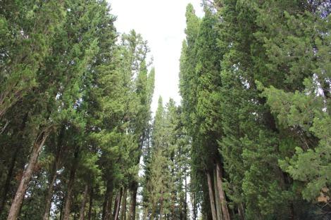 Monte Oliveto majestic cedars