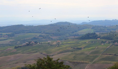 Montepulciano countryside, crows