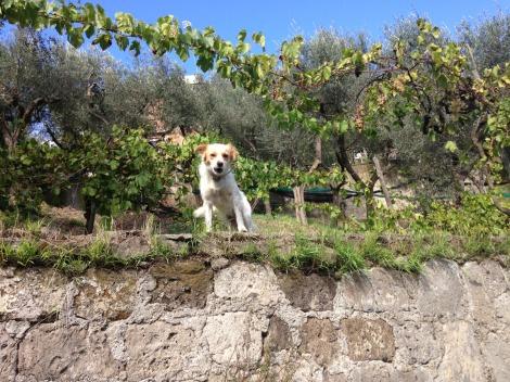 Massa dog barking on wall