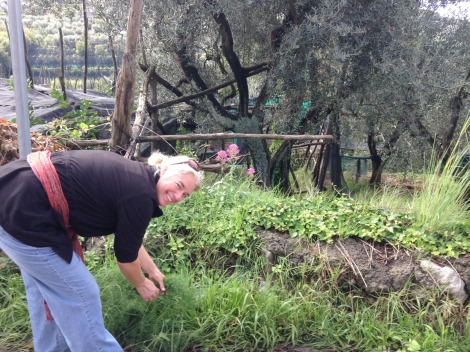 Massa Jamie collecting fennel