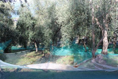 Massa nets under olives
