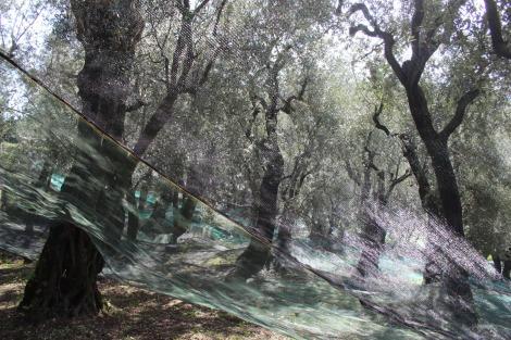 Massa olive nets shining