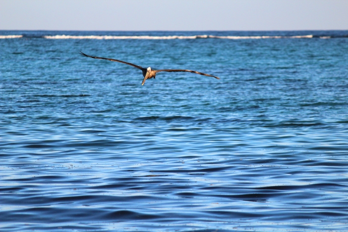 Pelican flying, waves in background