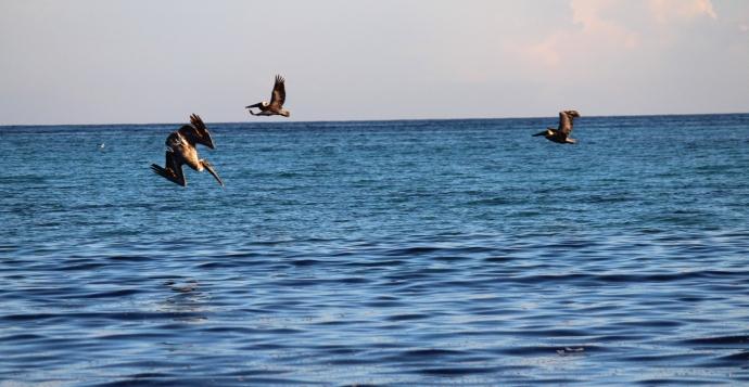 Pelicans 3 deep blue