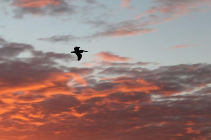 Solima bay Sunrise pelican silhouette