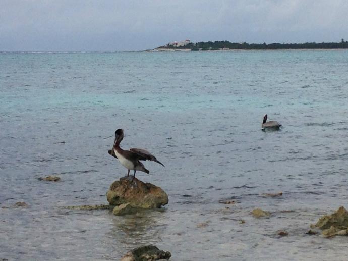 Soliman Bay pelican on rock