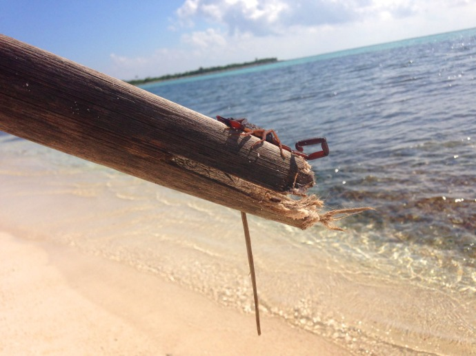Soliman Bay scorpion on stick