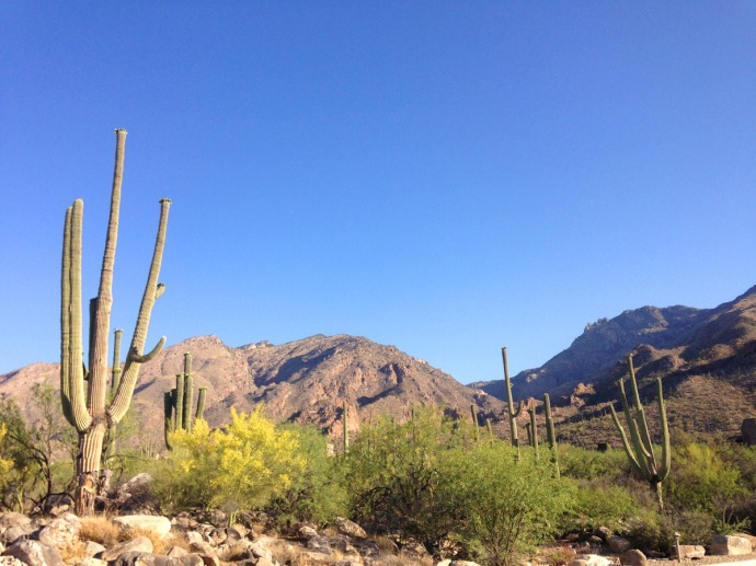 Cactus, yellow, mtn