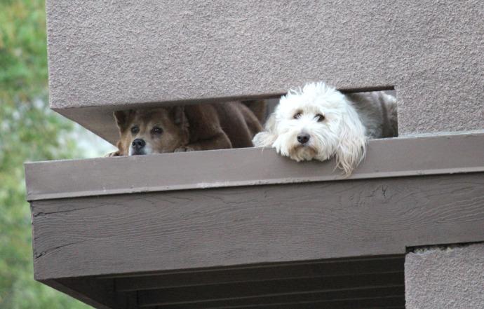condo dogs