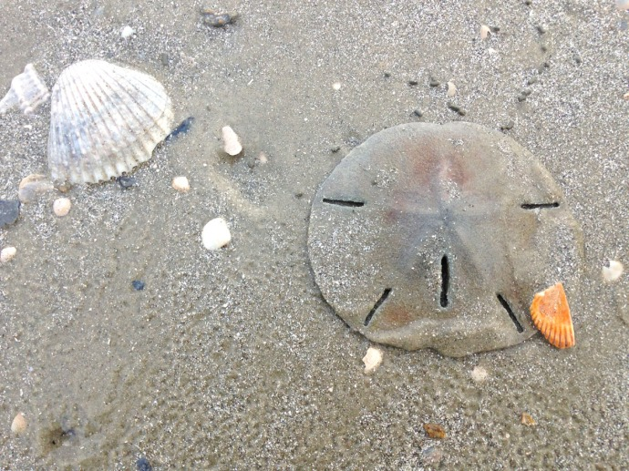 Dahfuskie sanddollar and shell