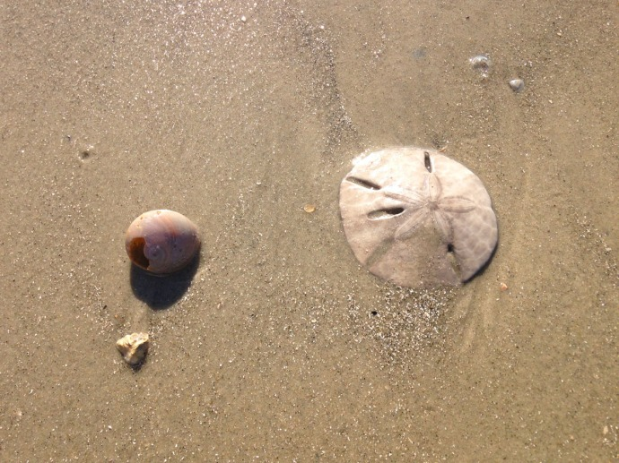 Daufuskie Beach sand dollar & shell