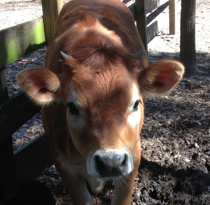 Daufuskie Farm calf