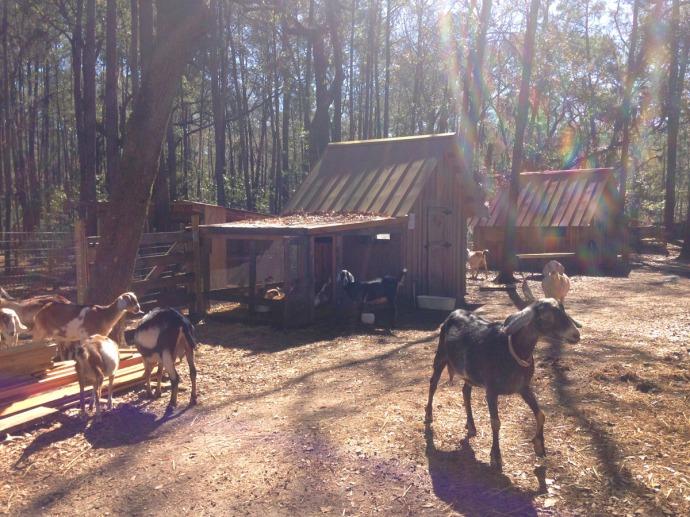 Daufuskie Farm goats & barns