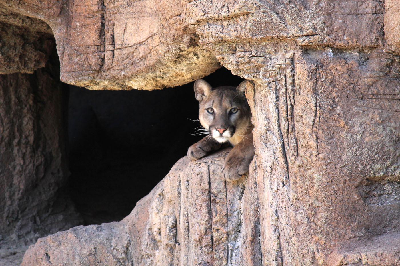 Mountain lion face close up - photo#18