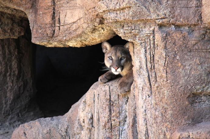 Desert Museum cougar face