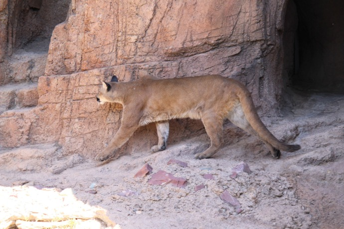 Desert Museum cougar going left