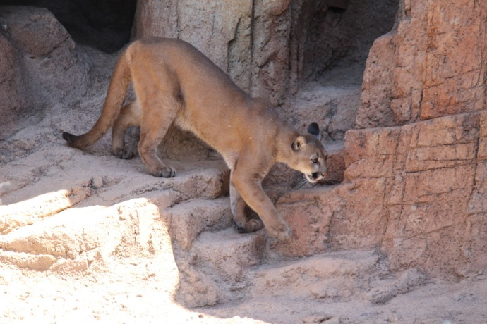Desert Museum cougar walking down