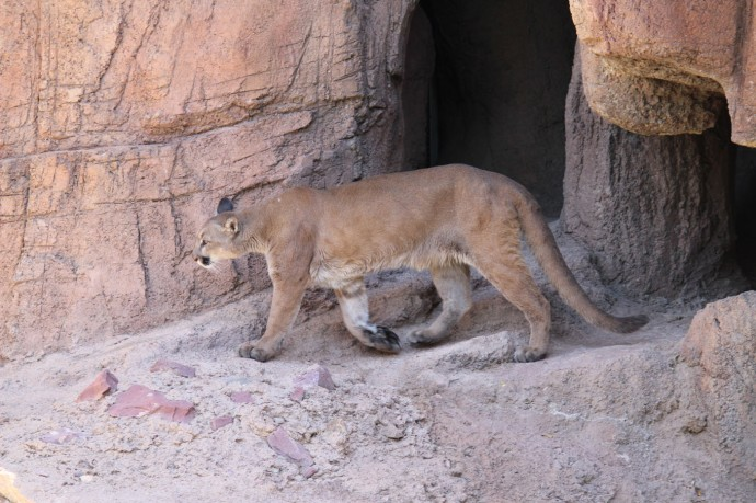 Desert Museum cougar walking