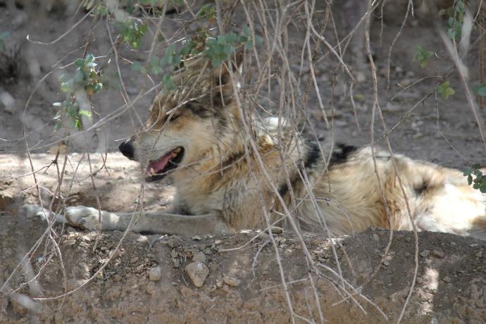 Desert Museum mexican wolf