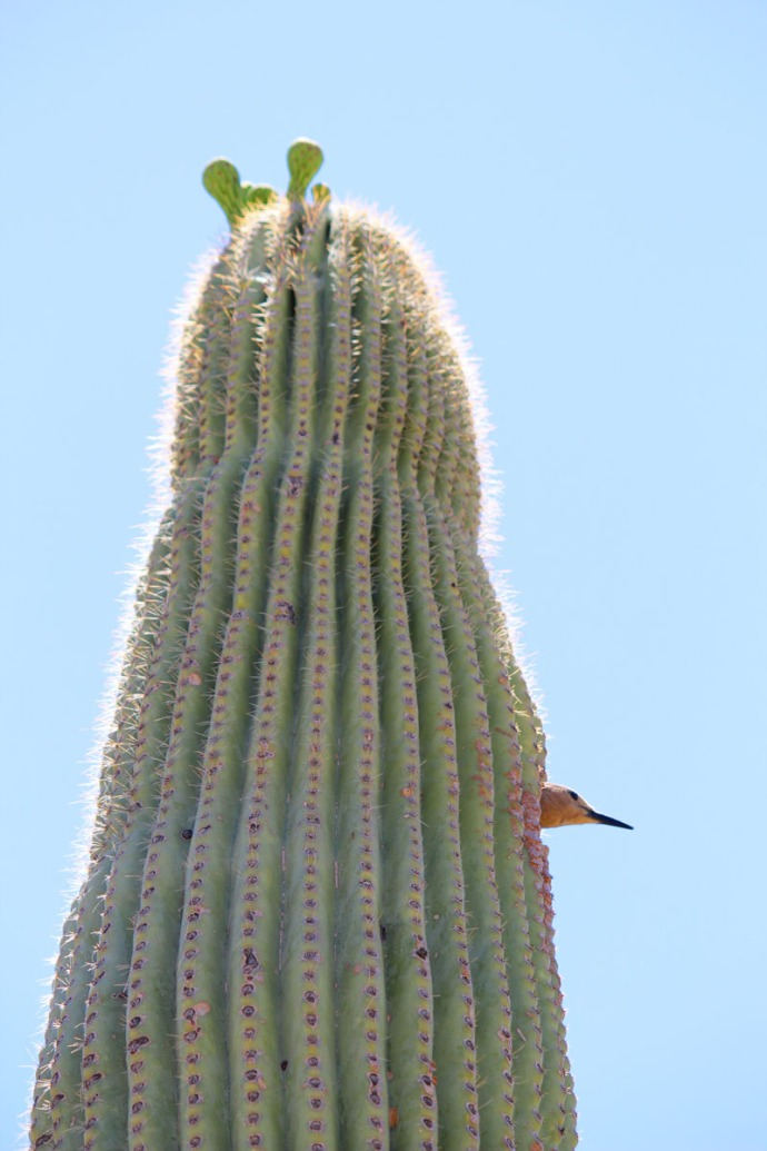 Desert Museum woodpecker in cactus full