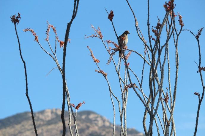 Dove in wispy cactus closer