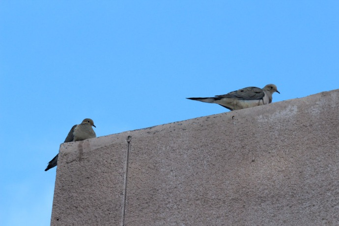 dove pair on roof