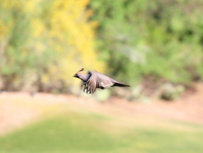 Gambel quail flying