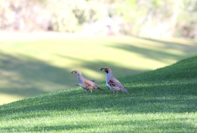 Gamel quail pair