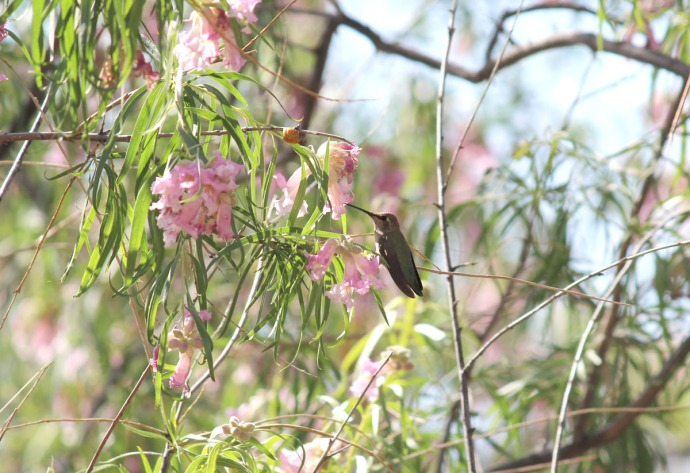 hummer in willow tree