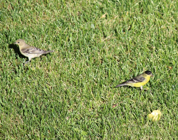 little yellow birds