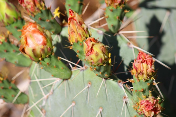 prickly pear blooms closed
