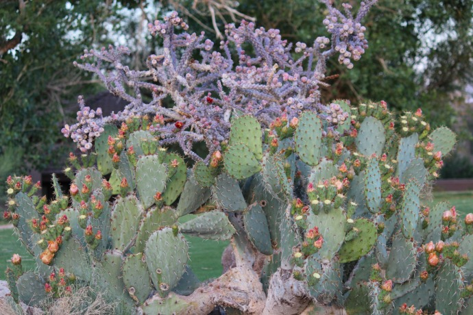 Prickly Pear & cactus blooming