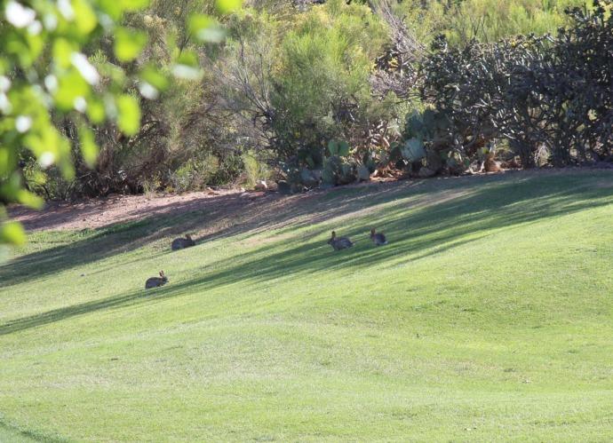 rabbits on golf fairway