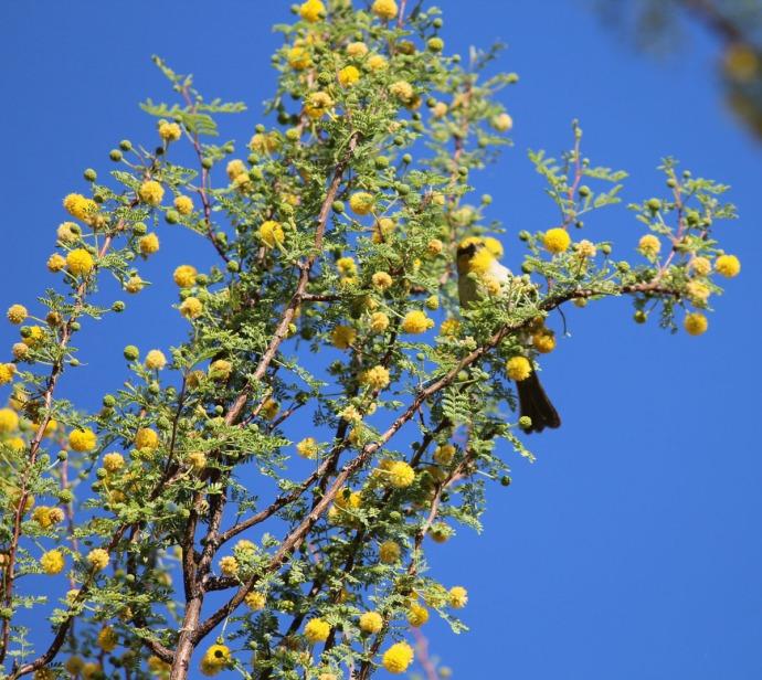 yellow bird in yellow blooming tree